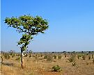 Lonely tree, Kruger National park, South Africa by Margaret  Hyde