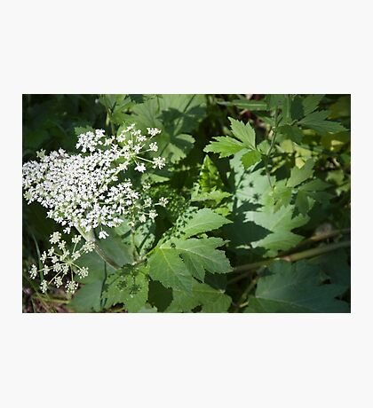 Cow Parsnip Shadow Photographic Print