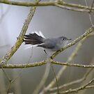 Blue-grey Gnatcatcher by Kate Farkas
