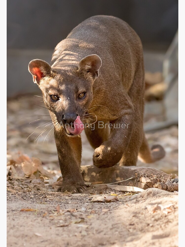 Prowling fossa by dailyanimals