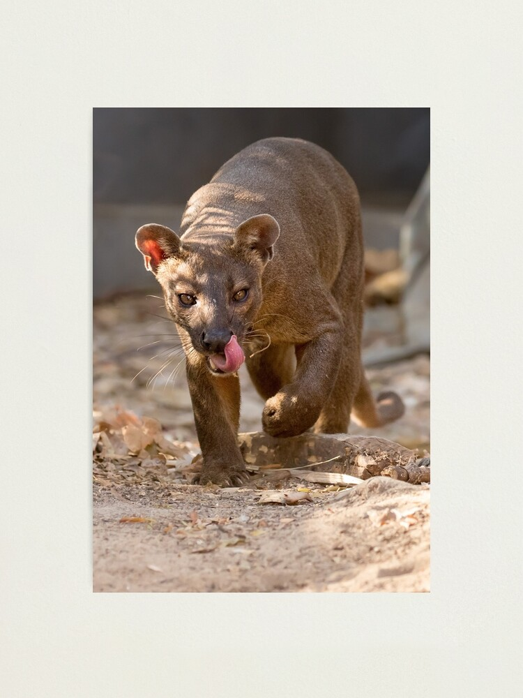 Alternate view of Prowling fossa Photographic Print