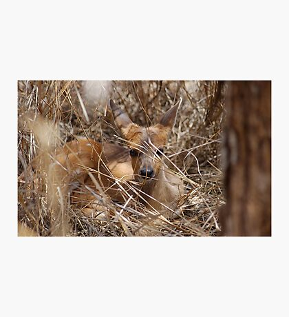 IN HIDING, THE BUSHBUCK BABY = Tragelaphus scriptus Photographic Print