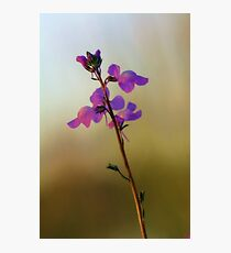 Blue Toadflax Photographic Print