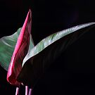 Calathea - tropical pot plant by dcarphoto