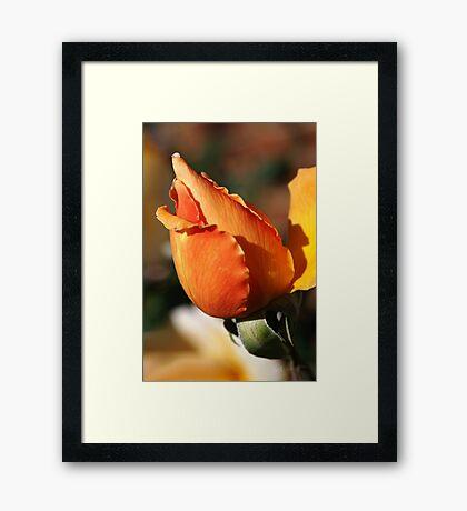 Orange Rose Bud Framed Print