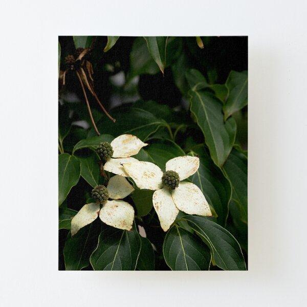 Kouza Dogwood Flowers Canvas Mounted Print