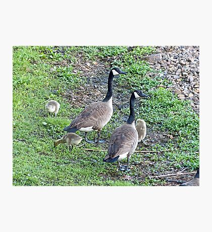 Family of Geese Photographic Print