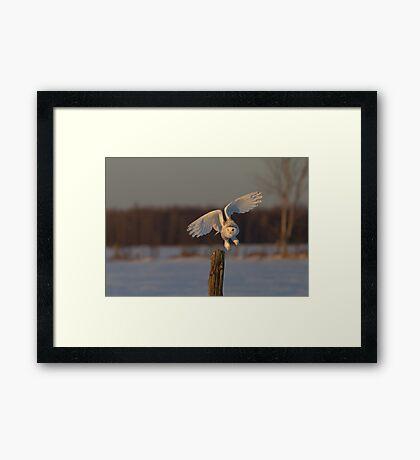 Snowy Owl taking off Framed Print