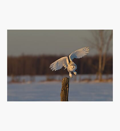 Snowy Owl taking off Photographic Print
