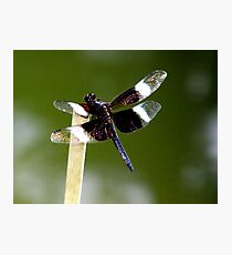 Widow Skimmer Dragonfly  Photographic Print