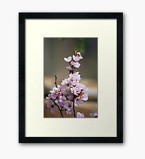 Pink Plum Blossoms Framed Print