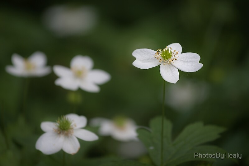Canada anemone by Photos by Healy