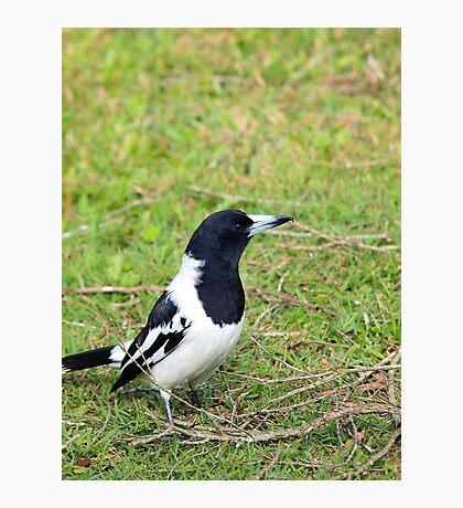 Adult Pied Butcherbird Photographic Print