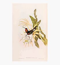 A monograph of the Trochilidæ or family of humming birds by John Gould 1861 V4 214 Photographic Print
