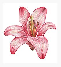 lily flower Photographic Print