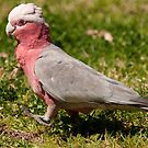 Galah on the march by Erik Schlogl