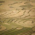 Terraced Rice fields, Tu Le Valley, Vietnam by Bob Ramsak