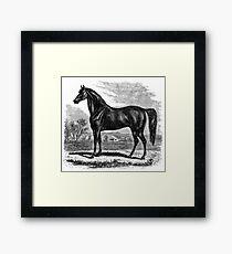 Vintage Morgan Horse Equestrian Horses Framed Print