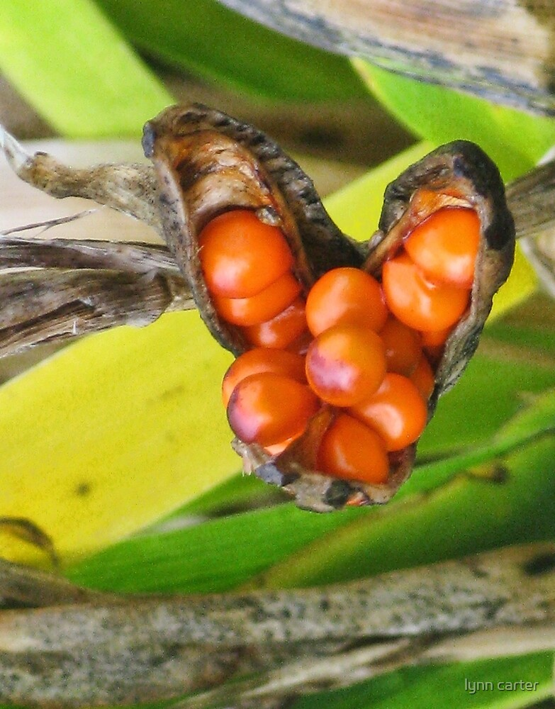 Iris Foetidissima Berries by lynn carter