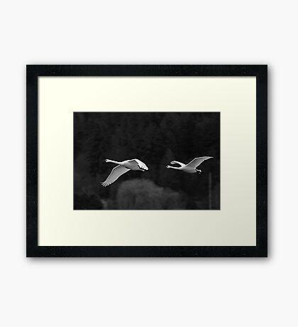 trumpeter swan pair flying by Framed Print