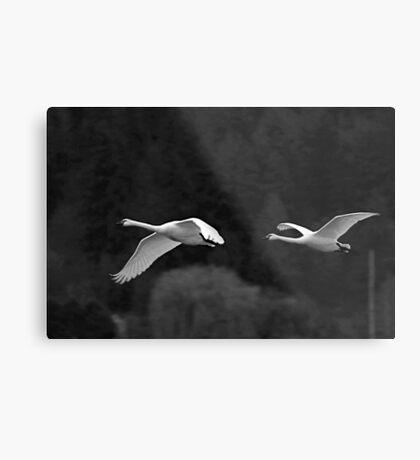 trumpeter swan pair flying by Metal Print