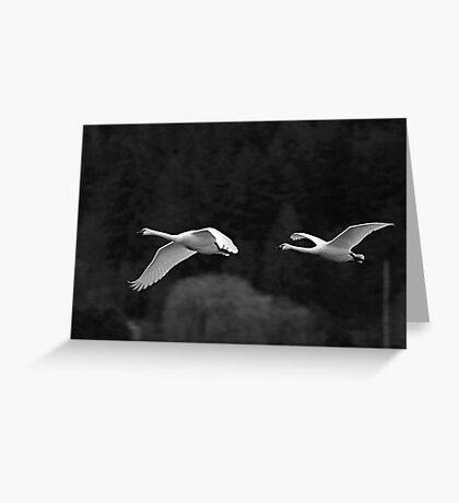 trumpeter swan pair flying by Greeting Card