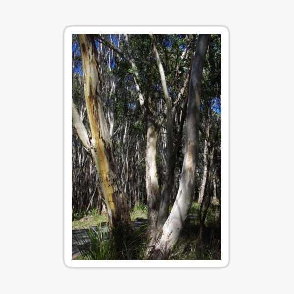 A Group Of Eucalypt Trees Sticker