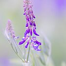 Bird Vetch by imagejournal