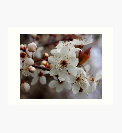 odd 8 petal cherry blossom Art Print