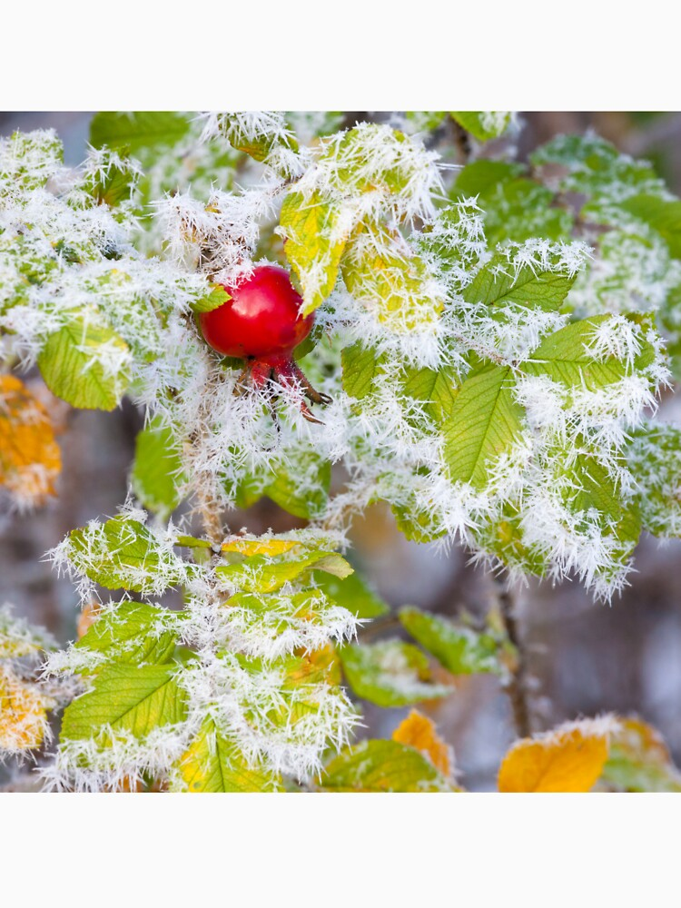 Rose hip and frozen leaves by Juhku