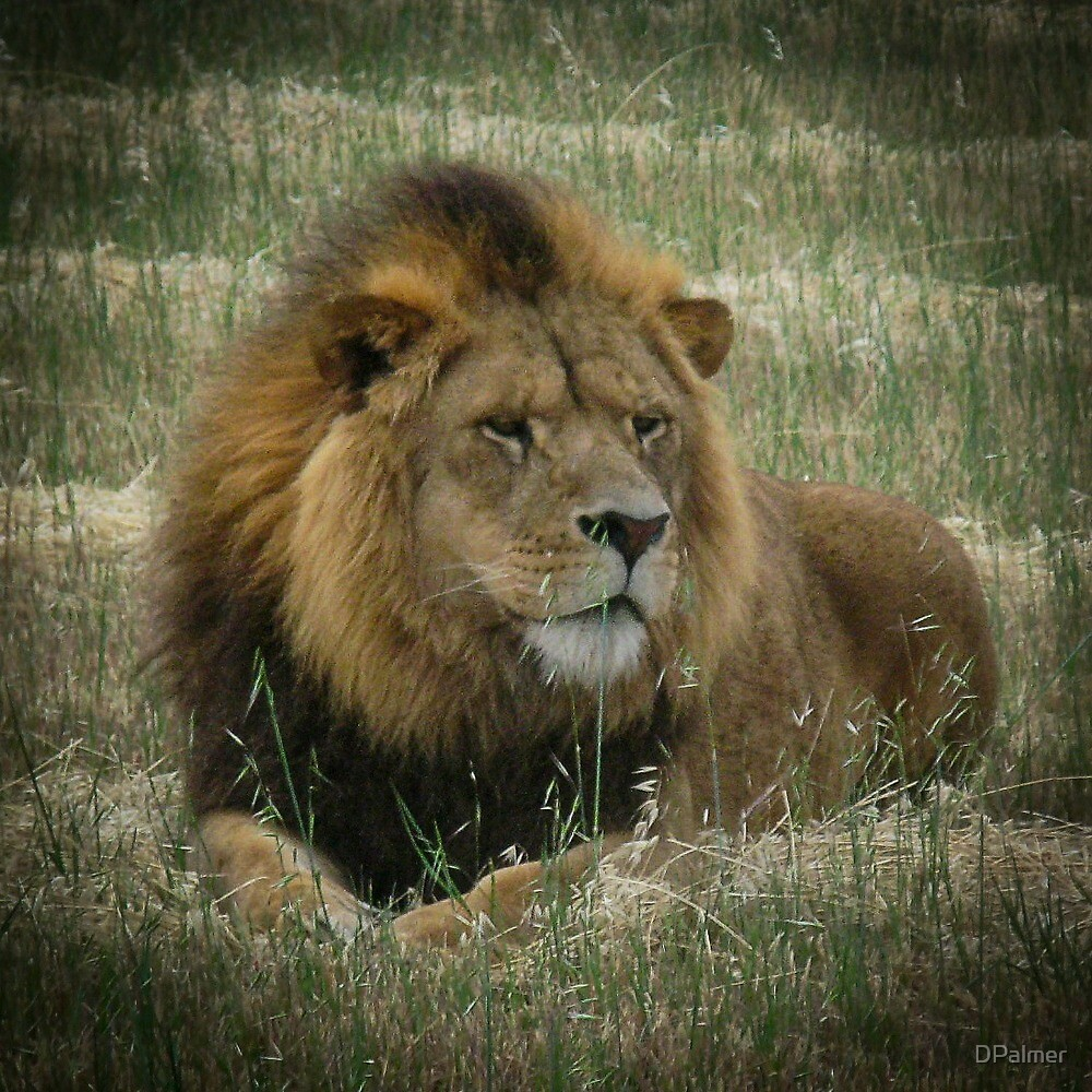 Male Lion by DPalmer