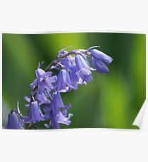 Violet-Blue English Bluebells Poster