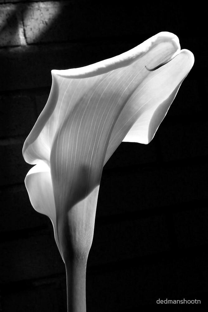 sensual lily on brick by dedmanshootn
