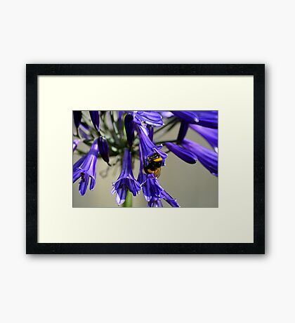 Busy Bumble Bee 1 Framed Print
