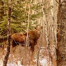 Moose Calf in Winter by Jim Sauchyn