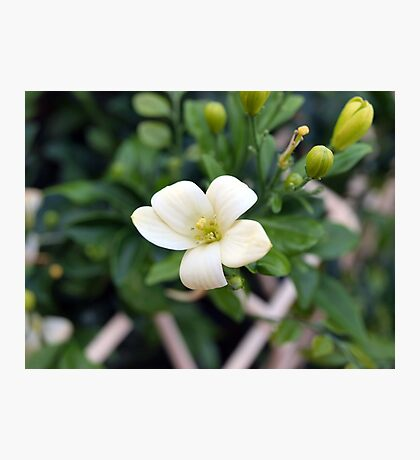 Mexican Orange Blossom Photographic Print