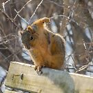 Fox Squirrel Itches by Deb Fedeler