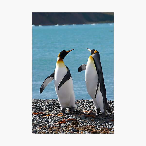 King penguin duo Photographic Print