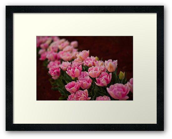 Tulips in a Row by Ewan Arnolda