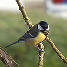 Great Titmouse by Heidi Mooney-Hill