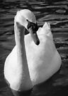 Monochrome Swan by Sara Sadler