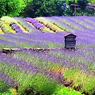 Lavender Farm 2013 by Marriet