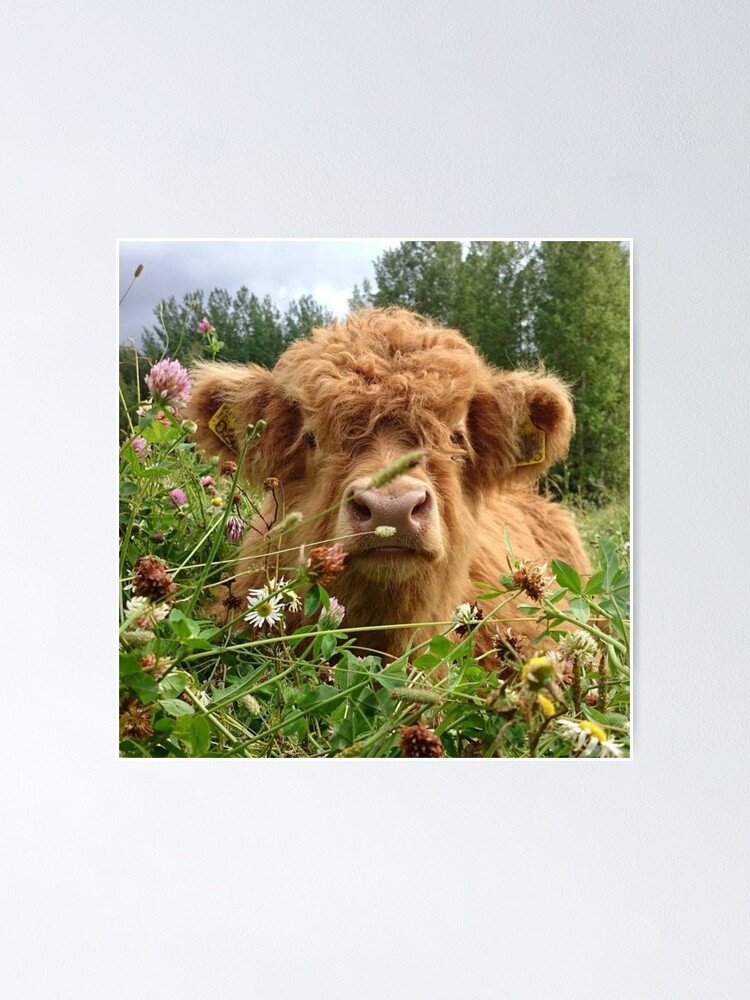 Alternate view of Baby Fluffy Cow Poster
