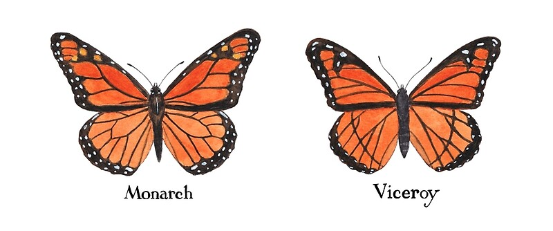 Related Keywords Amp Suggestions For Monarch Vs Viceroy