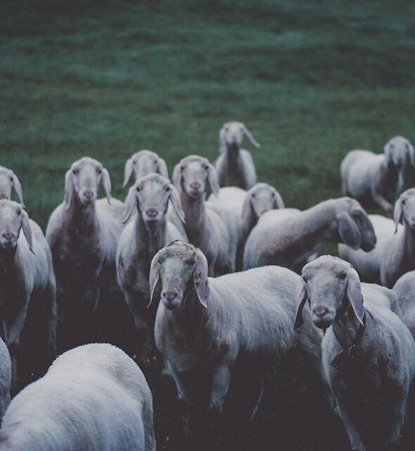 Sheep gang landscape animal photography by Michael Schauer