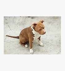 Pit Bull With Closed Eyes Photographic Print