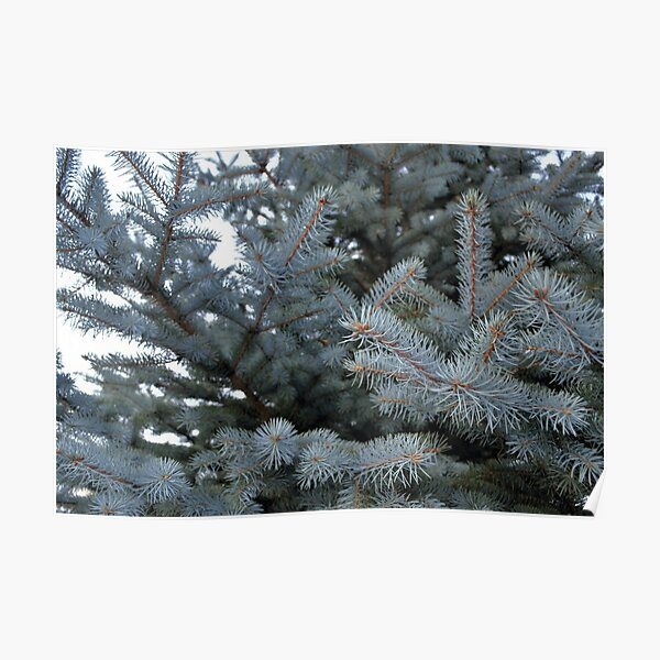 Spruce branch photo Poster