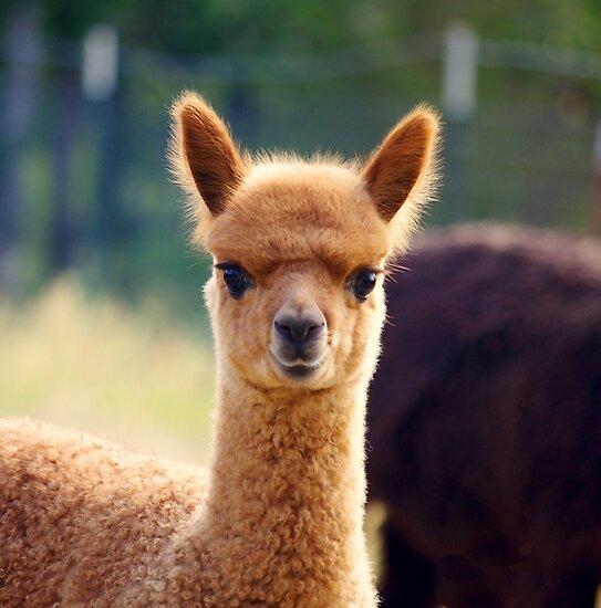 """Cute Baby Alpaca"" Photographic Print by karendgal   Redbubble"