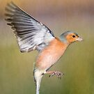 Hovering Chaffinch by M S Photography/Art