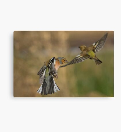 Chaffinches in flight Canvas Print